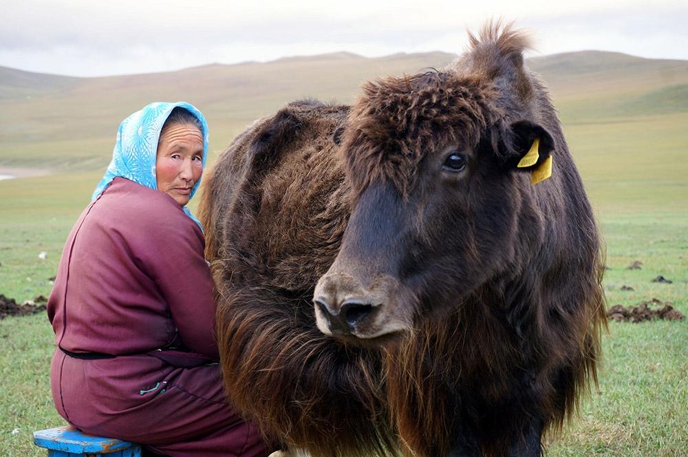 Image Of A Yak: Health Benefits Of Yak Milk: Tibetan Survival Food Keeps